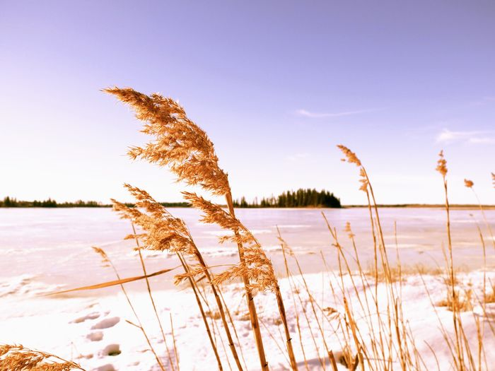 Dried grass on snow covered field against sky