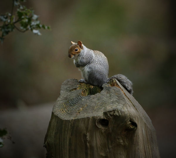 Close-up of a squirrel against blurred background