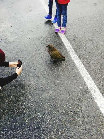 Kea. Kea Bird Nature Wildlife Parrot Travel Human Leg Standing Shoe Asphalt Rainy Season Children Footwear White Line
