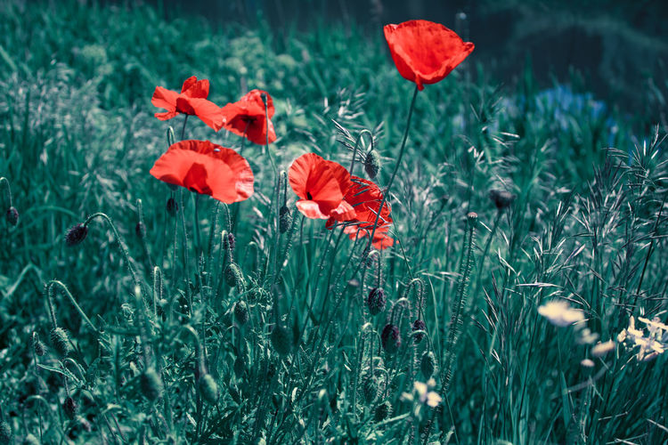 Close-up of red poppy in field
