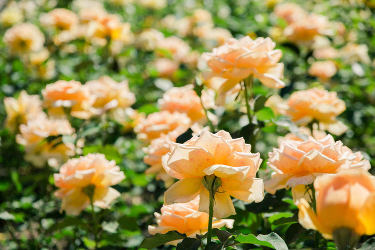 yellow roses Flowering Plant Flower Vulnerability  Fragility Freshness Beauty In Nature Petal Plant Growth Close-up Flower Head Inflorescence Nature No People Day Focus On Foreground Outdoors Field Orange Color Plant Stem