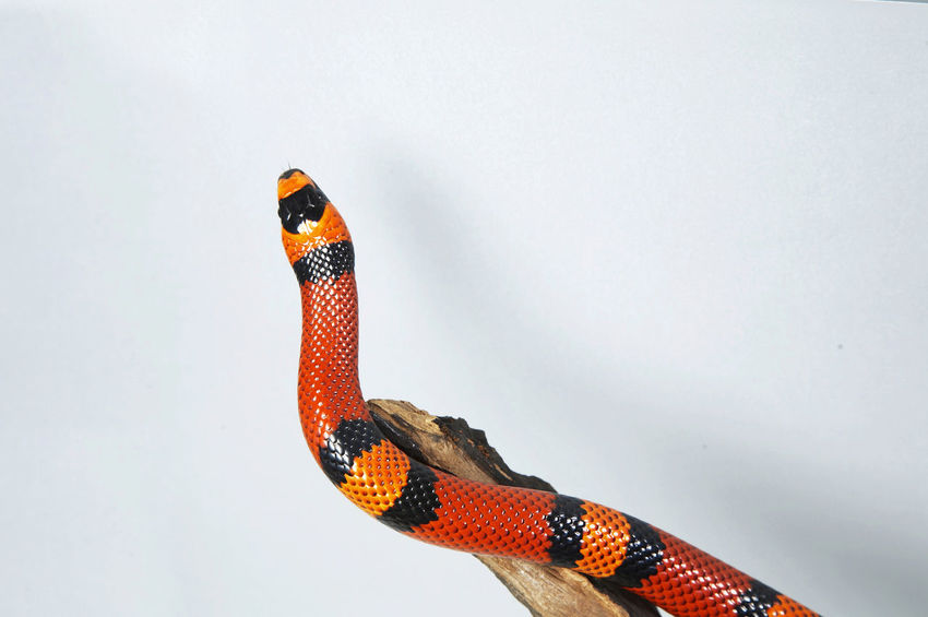 milk snake on the white background Reptile Scaled Scarlet Shiny Snake Striking Alternating Alternating Colors Colordul Cute Harmless High Angle View Lampropeltis Milksanke Pet Top View Triangulum Venomous White Background