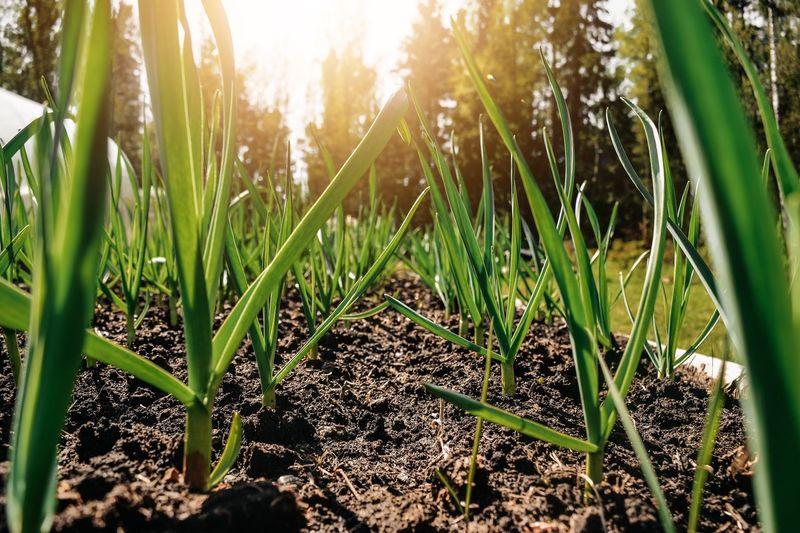garlic grows on