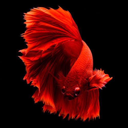 Red fighting fish. fins and tail like long skirts, half moon tail, perfect fish elegance.