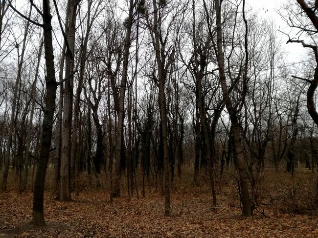 Blairwitch Winter Trees Bare Tree Tree Nature Growth Tree Trunk Tranquility Tranquil Scene Beauty In Nature Forest No People