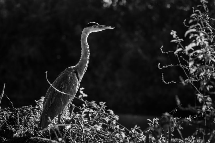 Animal Themes Animal Vertebrate Animals In The Wild Animal Wildlife Bird One Animal Plant No People Land Nature Focus On Foreground Day Field Growth Side View Tree Outdoors Heron Perching Animal Neck