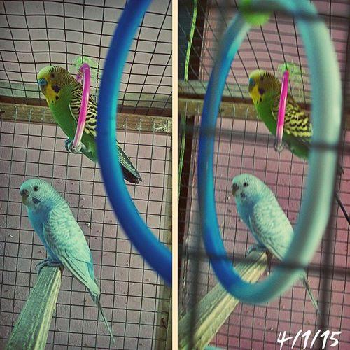 Main to superman Salman kaa faaan! MyLoveBirds Pucho Birds Birdsofinstagram Salmankhan Tevarmovie Movies