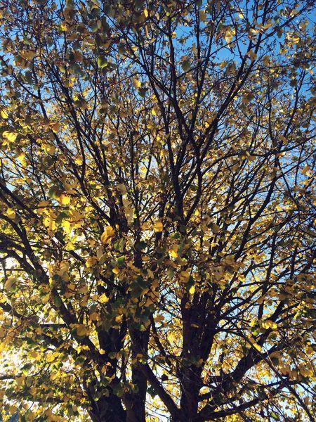 Trees Autumn Leaves Autumn Colors Autumn Leaves Fall Leaves Sky Blue Nature