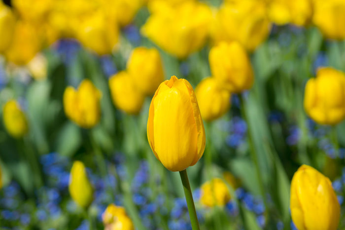 Abundance Beautiful Beauty In Nature Close-up Flower Collection Flowers,Plants & Garden Freshness Selective Focus Spring Spring Flowers Springtime Tulip Tulips Tulips🌷 Yellow Yellow Flower Yellow Flowers Yellow Tulips