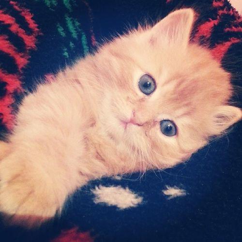 Cuty Cuty ChiraziCats Cute Cat Cats lovely amazing Animal instawood instagram beautiful