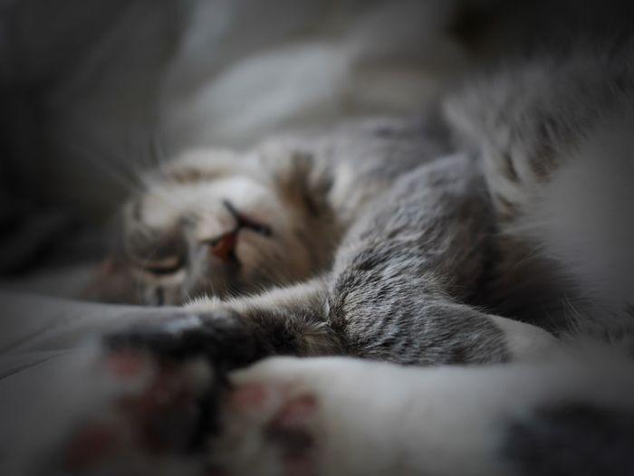 Sleeping Tired Cat Kitten Sleepy Sleep Sleeping Cat Sleepy Kitty Sleep Time Fur Feline Catsofinstagram Grey Cat Tiredness