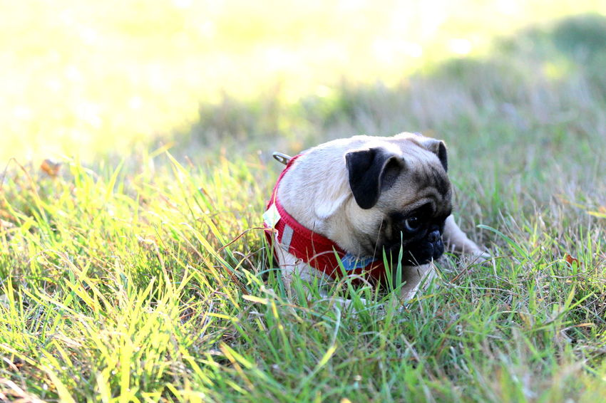 Animal Themes Cute Pets Day Dog Dog Love Domestic Animals Field Grass Looking At Camera Looking Sideways Mammal Mops Nature No People One Animal Outdoors Pets Portrait Pug Welpe