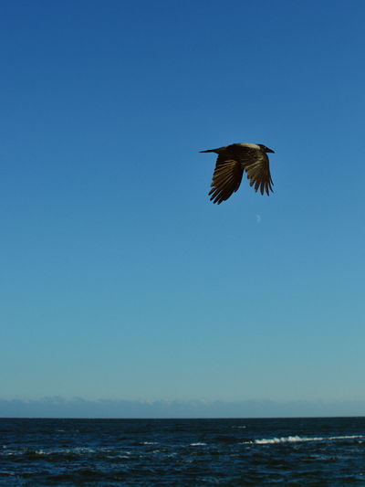 Bird flying over sea against clear blue sky