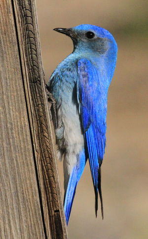 Mountain Bluebird, male Bluebird Mountain Bluebird Birds Birds Of EyeEm  Birds_collection Birds🐦⛅ Birds Wildlife Wildlife Wildlife & Nature Wildlife Photography Feathers Wildlifephotography Macaw Bird Parrot Perching Gold And Blue Macaw Blue Beak Feather  Peacock Close-up Colorful