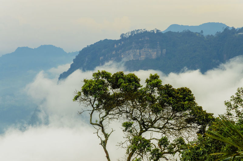 Trees and mountains in a high altitude cloud forest Chicaque Colombia Cundinamarca Environment Fog Foggy Foliage Forest Jungle Landscape Lush Mist Misty Mountain Mystery Natural Nature Outdoors Peaceful Scenery Tree Trees View WoodLand Woods
