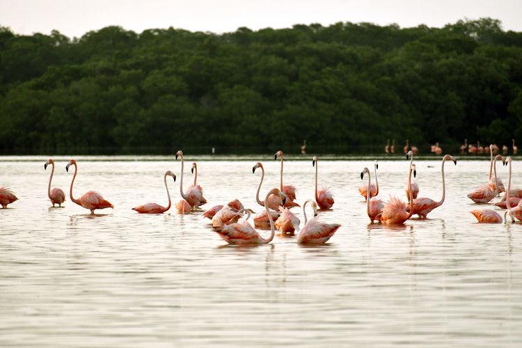 Flamingos standing in shallow water at ría celestun, yucatán, méxico
