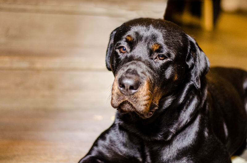 Rottweiler portrait Animal Themes Black Color Close-up Day Dog Dog Portrait Domestic Animals Focus On Foreground Indoors  Looking At Camera Mammal No People One Animal Pets Portrait Rottie Rottweiler Sitting