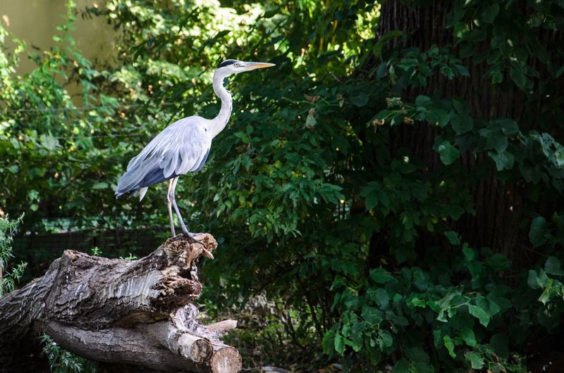 High Angle View Of Gray Heron Perching On Tree