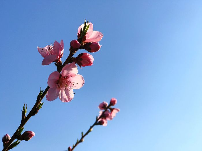 Peach flower Plant Flower Flowering Plant Fragility Vulnerability  Beauty In Nature Freshness Growth Sky Nature Low Angle View No People Close-up Blue Petal Clear Sky Day Blossom Pink Color Focus On Foreground