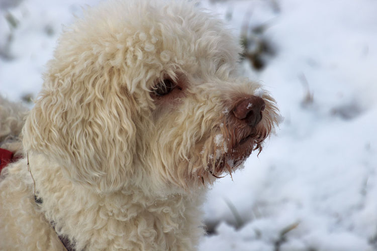 Lagotto Romagnolo EyeEm Selects Dog Pets Snow Winter Cold Temperature Animal Hair One Animal Animal Animal Themes Cute Day Nature Close-up Outdoors