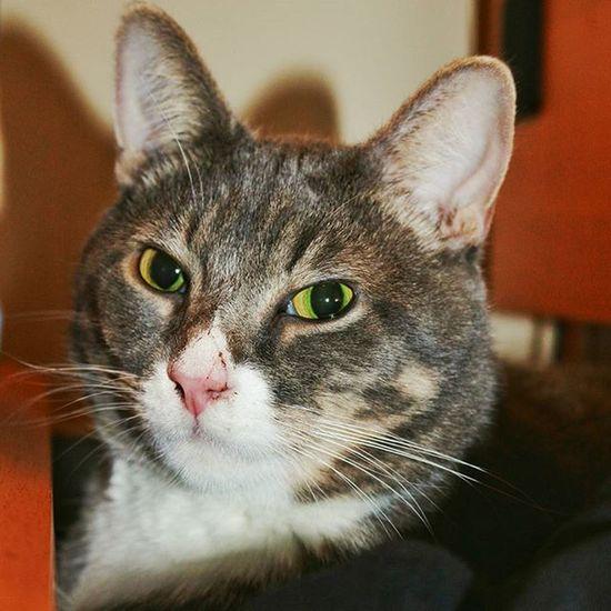 Cat Scar Scratchednose Scratch Catscratch Fluffy Fuzzy Fluffycat Fuzzycat Soft Animal Animals Greeneyes