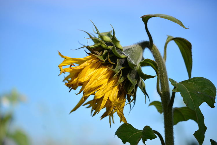 Close-up of wilted sunflower against sky