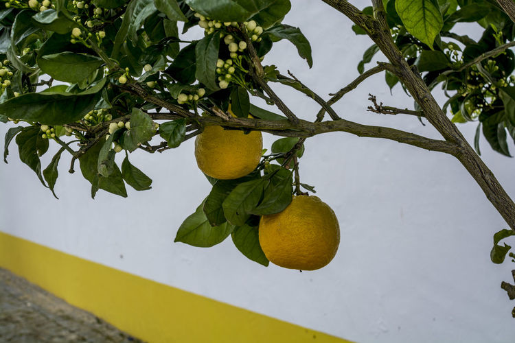 Low angle view of citrus fruits growing on tree against wall