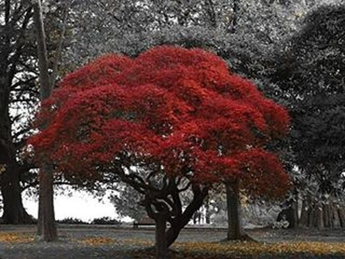 🍁🍂🌲 . . Hydref Autumn Fall Tree Red Leaves RedLeaves Selectivecolour Blackandwhite Standout Ukhubcollab2