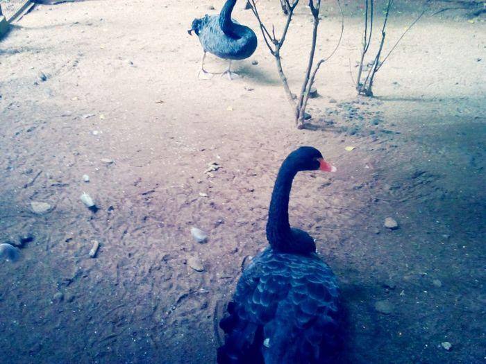 The Black Swan Black Swan Ragunan Zoo