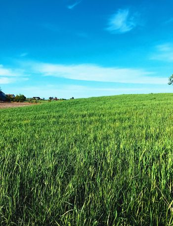 Agriculture Farm Field Crop  Growth Nature Sky No People Rural Scene Blue Tranquility Beauty In Nature Cereal Plant Day Outdoors Grass