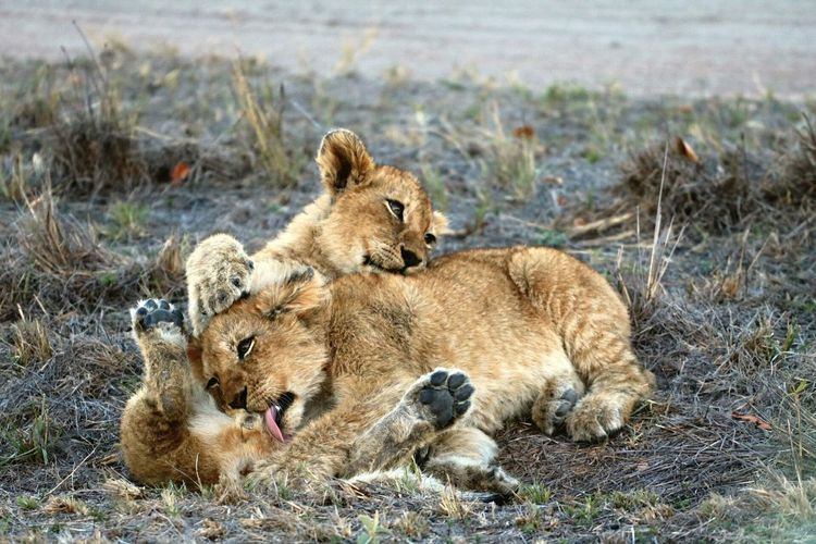 Lions cub in the sabi sand reserve