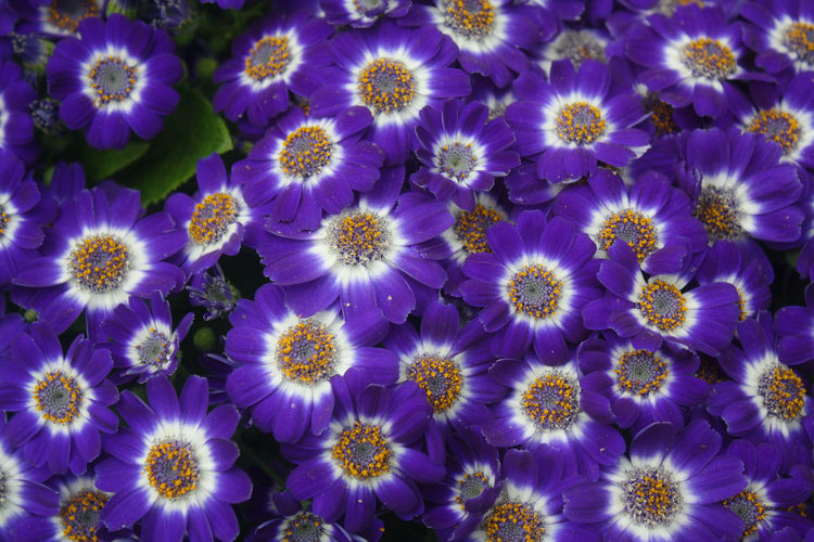 Spring Has Arrived Backgrounds Beauty In Nature Blooming Blue Close-up Day Flower Flower Head Fragility Freshness Full Frame Growth Nature No People Osteospermum Outdoors Petal Plant Purple Purple Flower Spring Spring Flowers spring into spring Springtime