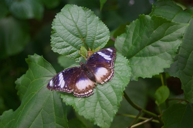 Animal Themes Animal Wildlife Animals In The Wild Beauty In Nature Butterfly - Insect Close-up Day Fragility Freshness Green Color Insect Leaf Nature No People One Animal Outdoors Perching Plant Pollination Purple