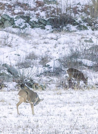 ITCHY & SCRATCHY   One of the perks of being surrounded by forest - The Wildlife   Roe Deer Deer Sweden Animal Themes Animals In The Wild Animal Snow Winter Cold Temperature Weather Nature Outdoors Bare Tree One Animal Deer Tree No People Mammal Reindeer Day Beauty In Nature Snowing Antler Nature Winter