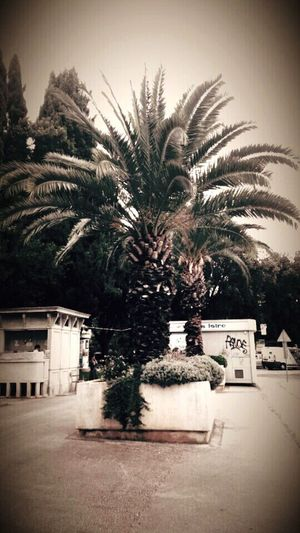 Palm Tree Tree Growth Outdoors Old INDONESIA Croatia Pula Vintage