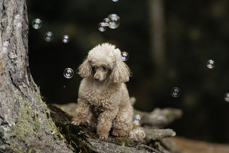 A toy poodle dog is sitting in the autumn forest