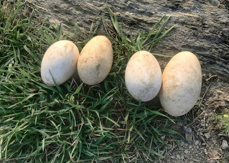 Goose eggs. High Angle View Eggs Egg Goose Egg Goose Eggs Nature No People Grass Outdoors Day Close-up Horizon Over Water Large Egg