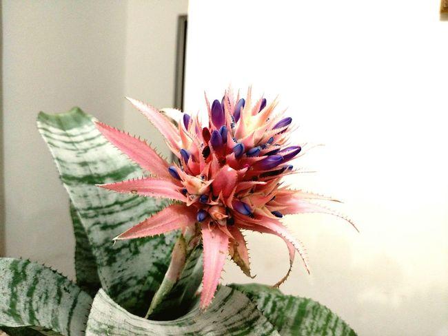 Flowers Beautiful Flowers Plants 🌱 Nature_collection Beatiful Nature EyeEm Nature Lover Flowers,Plants & Garden Bromelias Enjoying Life Colors