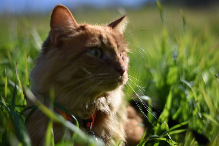 Orange Cat Close-up Pets Domestic Cat Feline Grass Outdoors Day Domestic Animals One Animal Kitty Cat Animal Cats Cat No People Portrait Grass Beauty In Nature Animal Themes Plant Mammal Nature Catslife Kitty Kitty!