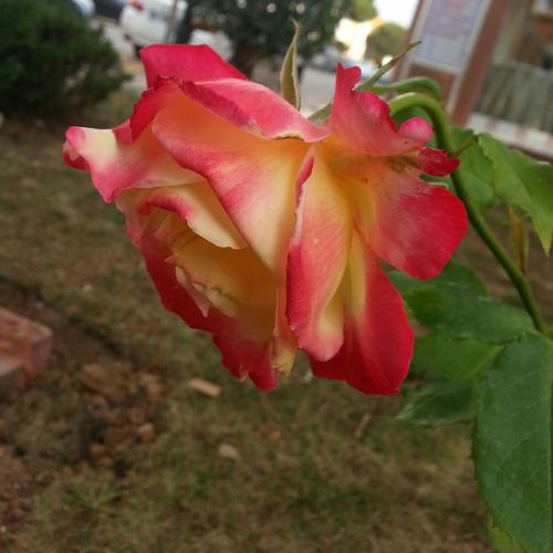 Flower Head No People Fragility Outdoors Day Freshness Beauty In Nature Nature 3XSPUnity 3XSPhotographyUnity Rose♥ Rose Rose Flower Nature Rosé