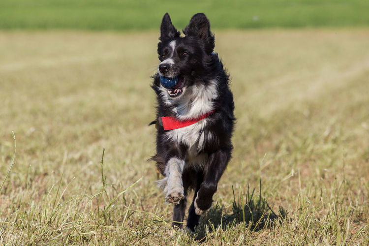 Border collie retrieving a ball during training session