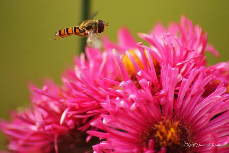 Close-up of bee on pink flower