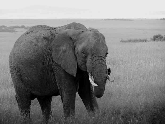 Monochrome photograph of an african elephant in masai mara