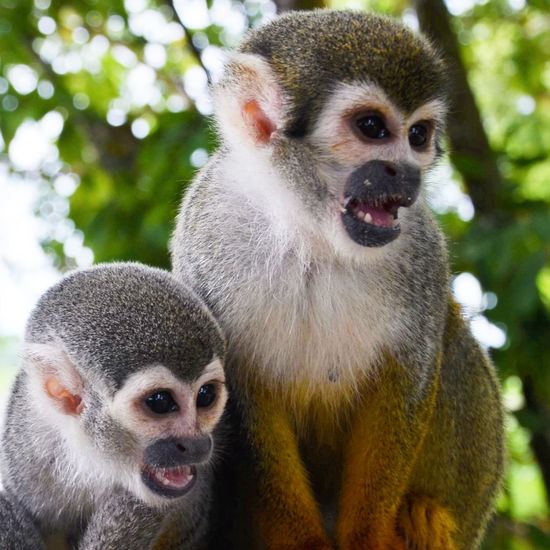 Monkey Family Monkey Jungle Nature Colombia Rainforest Saimiri Sciureus Squirrel Monkey Fierce Nature Cute Animals Animals In The Wild Together