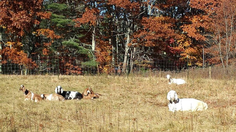 Enjoying Life Goats Goat Life Autumn Leaves Foliage Bestoftheday Eye4photography  EyeEm Best Shots