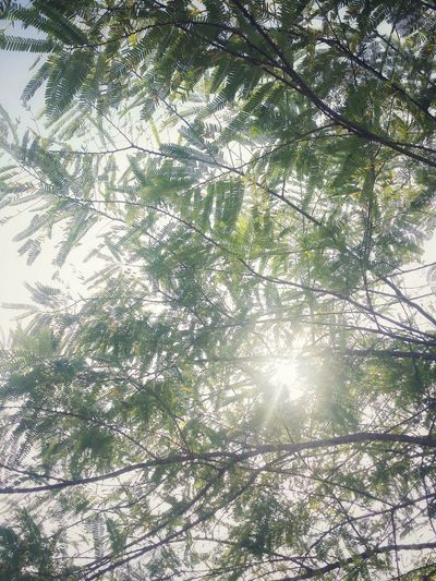 Green Tree Underneath Outside Contrast Sunlight Sun View Garden Gardens Tree Branch Backgrounds Full Frame Sky Plant Leaves Growing Leaf Stalk Woods Forest Botanical EyeEmNewHere