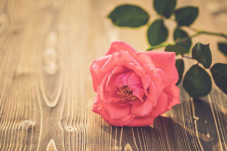 Close-up of pink rose on table