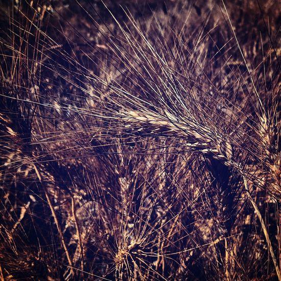 Trigo Wheat Field Campiña Jaen
