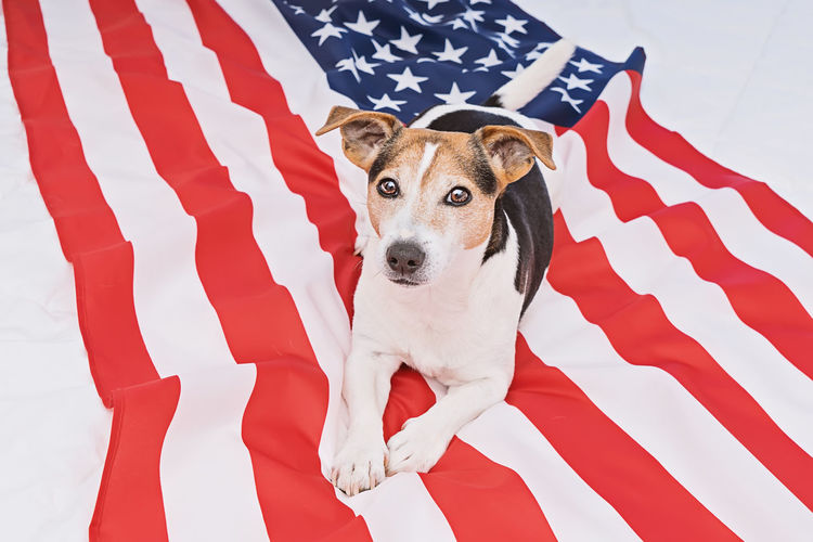American Flag Day Dog USA 14th June Greeting Background Event July Happy Independence Celebrate Festival National America Military Traditional Stripes United Celebration Banner Army Remember Emblem  Memorial Holiday Soldier History Liberty Flag Day Veterans Parade President National Flag Week Card Concept Anthem Anniversary Star Patriot Fourth 4th Of July 4th July Pet Us Cute Jack Russell HERO Terrier