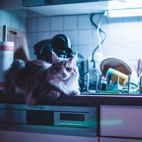Cat Pets One Animal Mainecoon Colors Neon Kitchen